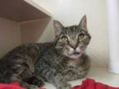 Adopt Joey a Gray or Blue Domestic Shorthair / Domestic Shorthair / Mixed cat in