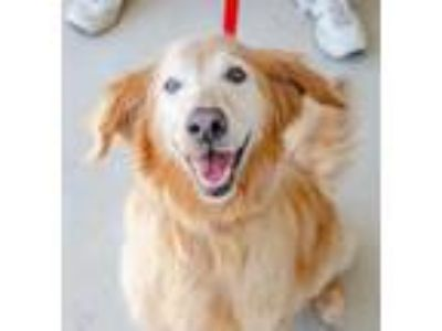 Adopt Lady a Red/Golden/Orange/Chestnut Golden Retriever / Mixed dog in