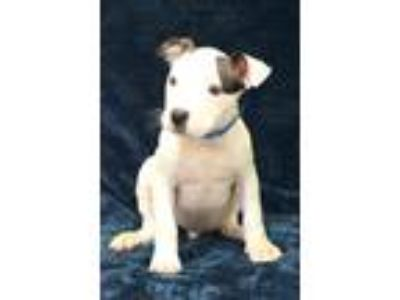 Adopt Jay a White - with Black Pit Bull Terrier / Mixed dog in Waldorf
