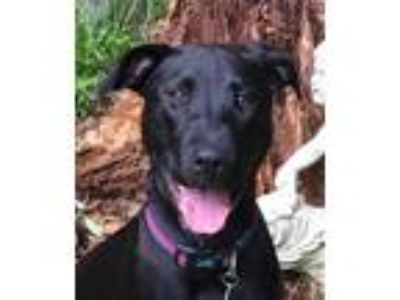 Adopt SAMANTHA a Black Labrador Retriever / Hound (Unknown Type) / Mixed dog in