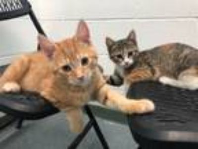 Adopt Ruby and Kittens -Coming Soon Mom & Bonded Siblings a Calico, Tiger