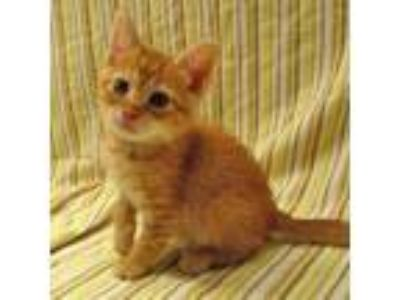 Adopt Stitch a Orange or Red Domestic Shorthair / Domestic Shorthair / Mixed cat