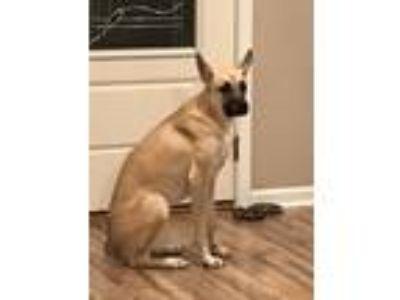 Adopt Sasha a Tan/Yellow/Fawn German Shepherd Dog / Boxer dog in Fairdale