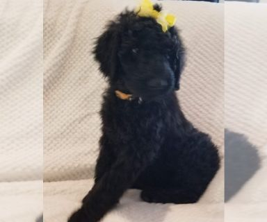 Labradoodle PUPPY FOR SALE ADN-131425 - Beautiful Babies are Ready
