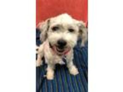Adopt Clyde a White Schnauzer (Miniature) / Poodle (Miniature) / Mixed dog in