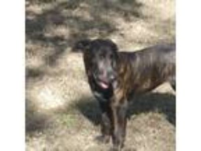 Adopt Courage a Brindle - with White Labrador Retriever / Mixed dog in DFW