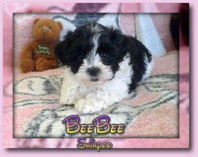 BeeBee Female Shihpoo