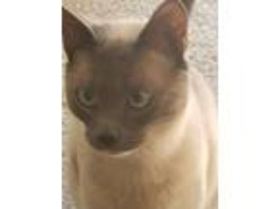 Adopt Gunner a Gray or Blue (Mostly) Siamese cat in Pasadena, MD (25766156)