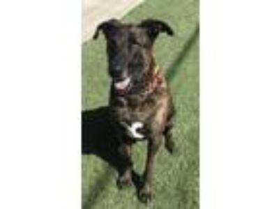 Adopt Chance a Brindle Shepherd (Unknown Type) / Mixed dog in Orange