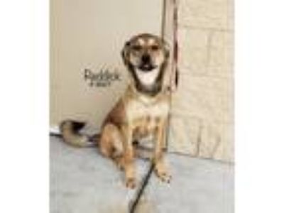 Adopt Reddick a Brown/Chocolate German Shepherd Dog dog in Alvin, TX (25296797)