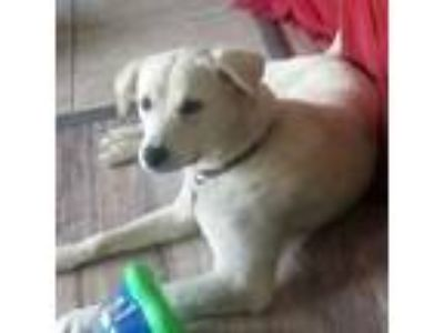 Adopt Twinkie a White Labrador Retriever / Mixed dog in Minneapolis