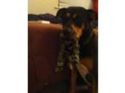 Adopt Twix a Black - with Tan, Yellow or Fawn Rottweiler / English Shepherd /