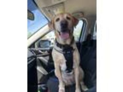 Adopt Spencer a Tan/Yellow/Fawn Labrador Retriever dog in Portsmouth