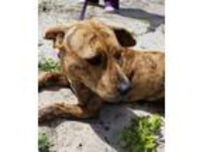 Adopt Jelly Bean a Catahoula Leopard Dog, Mixed Breed