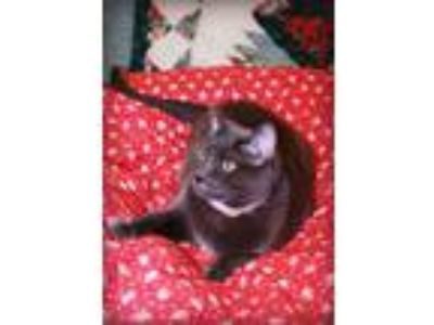 Adopt Delilah a Russian Blue