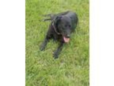 Adopt Raven #2 a Black Labrador Retriever / Mixed dog in Buckeystown
