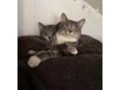 Adopt Quinn and Auxana a Domestic Short Hair, Tonkinese