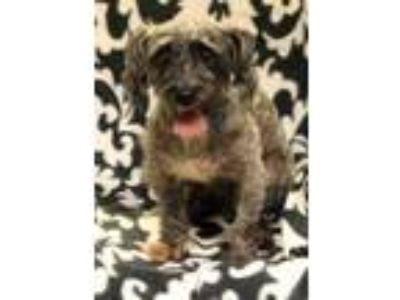 Adopt Smokey Joe a Gray/Blue/Silver/Salt & Pepper Schnauzer (Miniature) / Mixed
