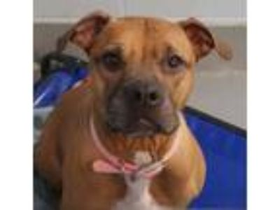 Adopt Eve a American Staffordshire Terrier, Boxer