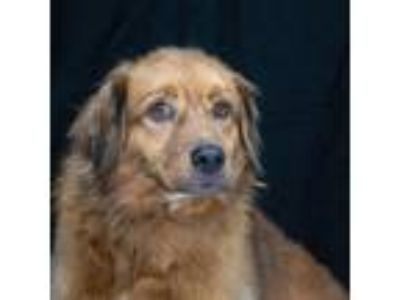 Adopt Duke a Red/Golden/Orange/Chestnut Spaniel (Unknown Type) / Retriever