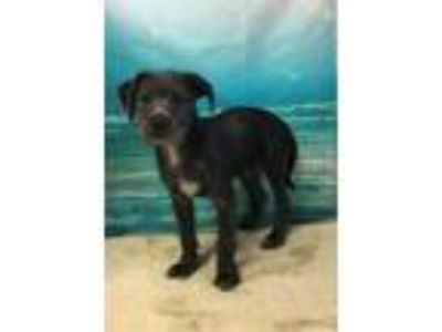 Adopt MOON a Labrador Retriever, Irish Wolfhound