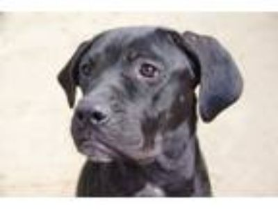 Adopt Pepper a Brindle Cane Corso / Mixed dog in Wenonah, NJ (22364456)