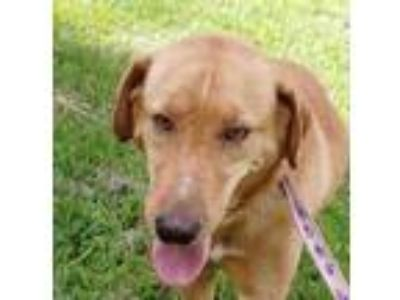 Adopt Sabrina a Golden Retriever, Labrador Retriever