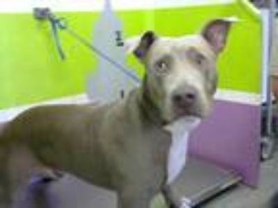 Adopt SMOKEY a Brown/Chocolate American Pit Bull Terrier / Mixed dog in Houston
