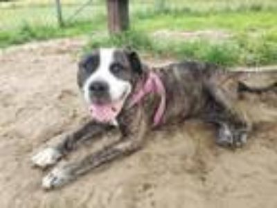 Adopt Mama Cas a American Staffordshire Terrier