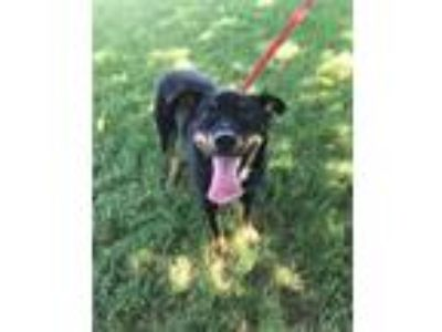 Adopt JAMBOREE a Black - with Tan, Yellow or Fawn Australian Cattle Dog /