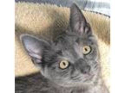 Adopt Guy a Gray or Blue Russian Blue / Mixed (short coat) cat in Fishkill