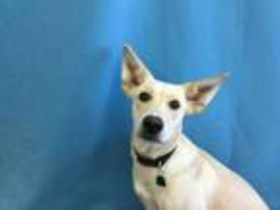 Adopt Ginger a Tan/Yellow/Fawn Husky / Border Collie / Mixed dog in St.