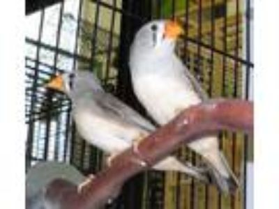 Adopt Zebra Finches a Parrot (Other)