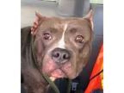 Adopt Aunt Bea a Gray/Blue/Silver/Salt & Pepper American Pit Bull Terrier /