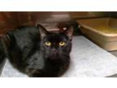 Adopt PUMA a All Black Domestic Shorthair / Mixed (short coat) cat in