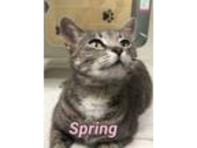 Adopt Spring 115135 a Gray or Blue Domestic Shorthair (short coat) cat in