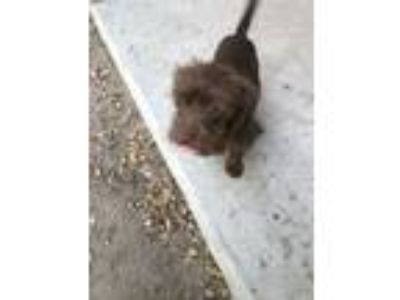 Adopt BABY MIMOSA a Poodle, Terrier