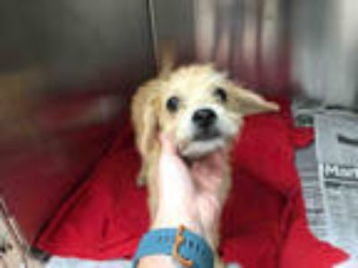 Adopt JADE a Tan/Yellow/Fawn Cairn Terrier / Mixed dog in Plano, TX (25883184)
