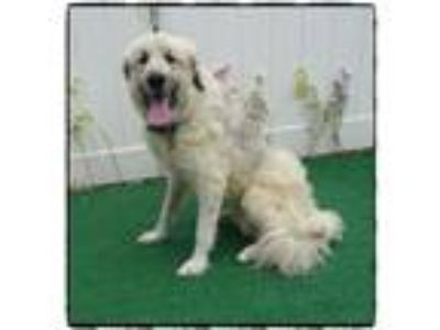 Adopt MAX a Great Pyrenees