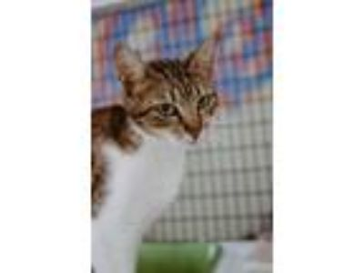 Adopt Delaney a Domestic Short Hair