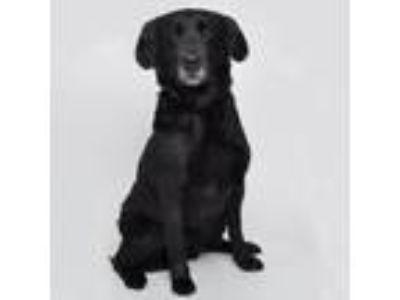 Adopt Abby (Tennessee) a Black Labrador Retriever, Labrador Retriever