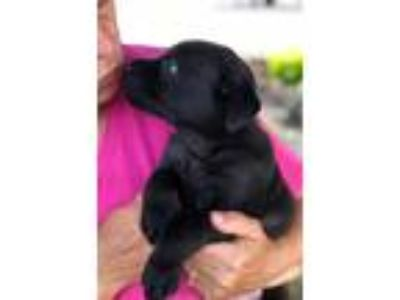 Adopt BABY MAXX a Labrador Retriever, Australian Cattle Dog / Blue Heeler