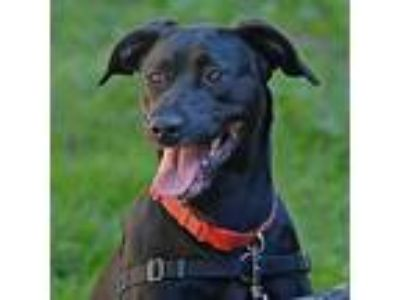 Adopt Milly a Labrador Retriever / Mixed dog in Santa Rosa, CA (25366062)