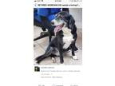 Adopt Angie a Black - with White Labrador Retriever / Beagle / Mixed dog in West