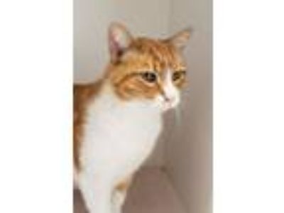Adopt *Sebastian a Domestic Short Hair