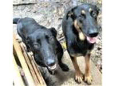 Adopt Adonis & Amber a German Shepherd Dog, Black Labrador Retriever