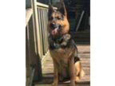 Adopt Desi a German Shepherd Dog