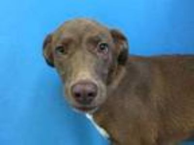 Adopt Dasia a Brown/Chocolate Labrador Retriever / Mixed dog in St.
