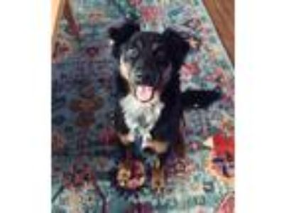 Adopt Tucker a Black Chow Chow / Dachshund / Mixed dog in Dallas, TX (25612562)