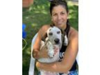 Adopt Ellie a Pointer, Labrador Retriever